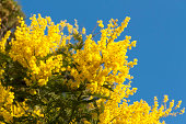 """""""Yellow Mimosa, symbol of the early springtime in february at the French Riviera."""""""