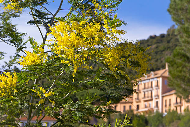 False Mimosa (Acacia dealbata, Mimosaceae) Yellow Mimosa, symbol of the early springtime in february at the French Riviera. var stock pictures, royalty-free photos & images