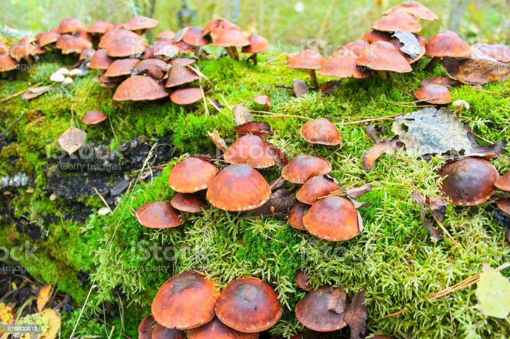 False mushrooms. Hypholoma. stock photo