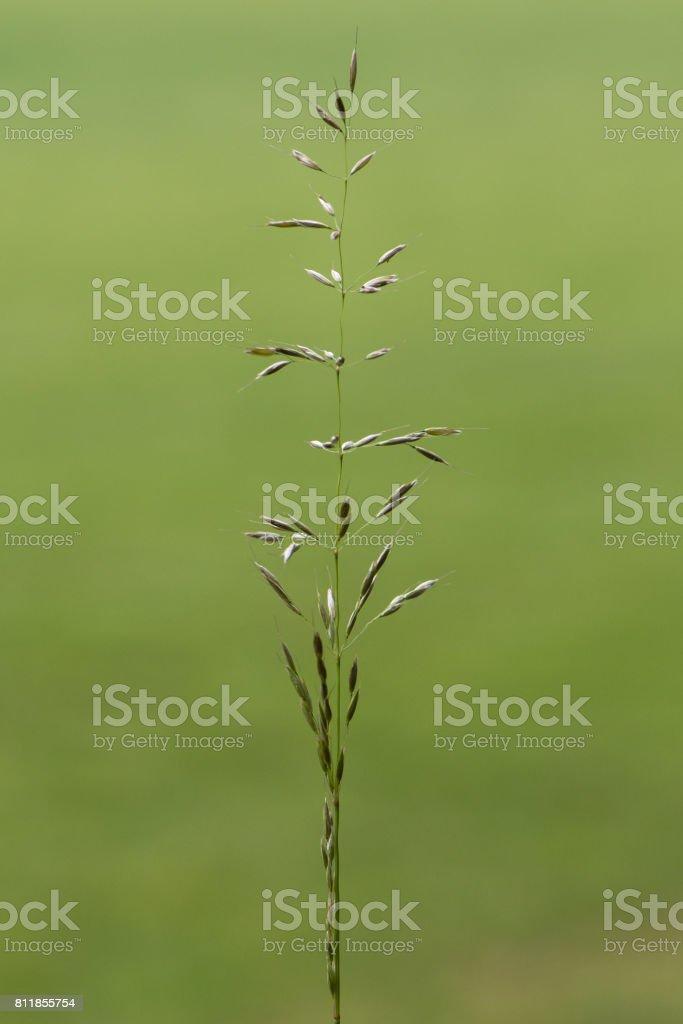 False oat-grass (Arrhenatherum elatius) in flower stock photo