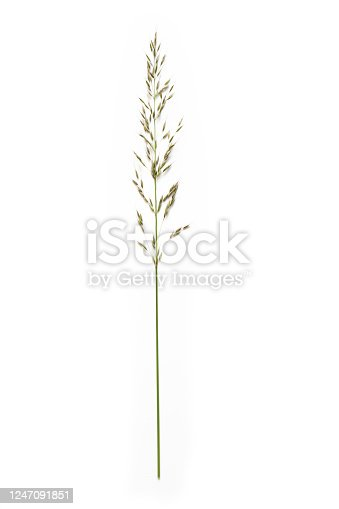 false oat-grass or ryegrass (Arrhenatherum elatius) isolated on a white background, copy space