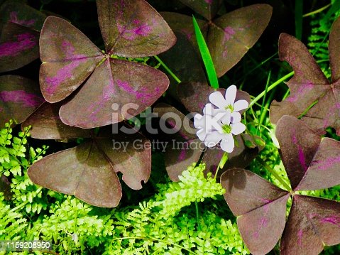 Bright and Beautiful False Shamrock or Oxalis Triangularis Plant with Lovely Flower in A Garden.