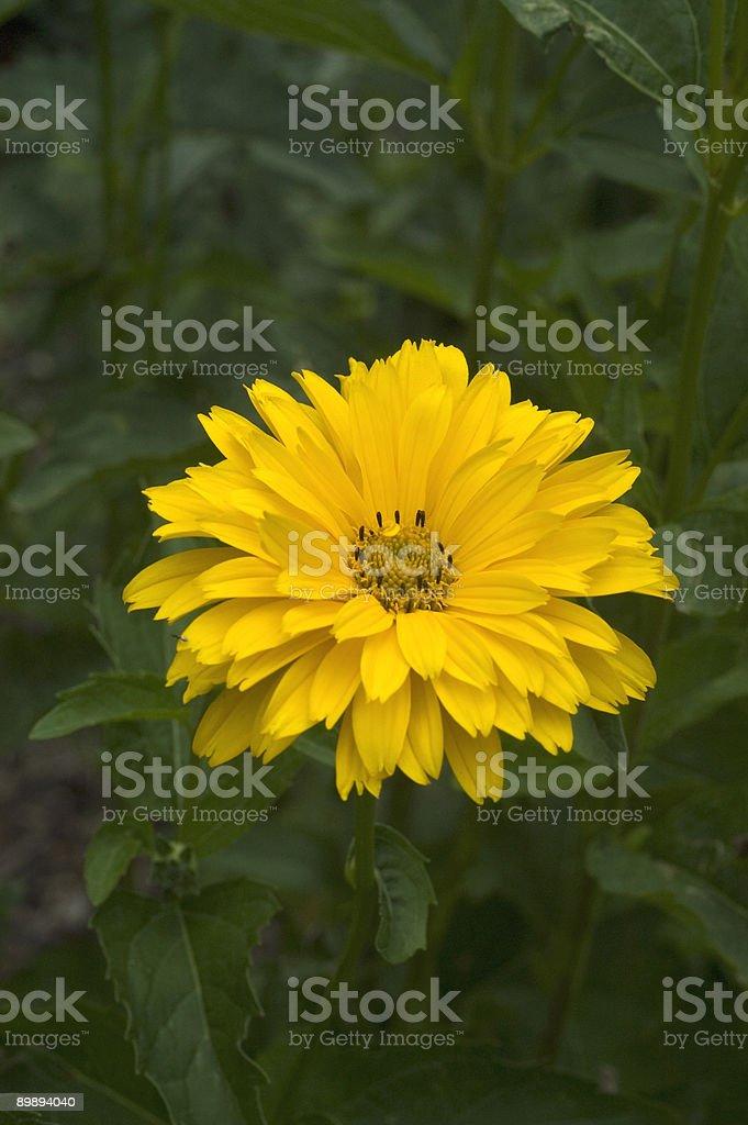 False Sunflower, Heliopsis helianthoides royalty-free stock photo