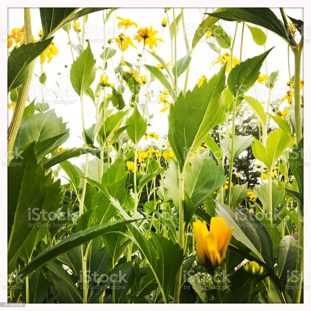 False Sunflower Heliopsis in Garden stock photo