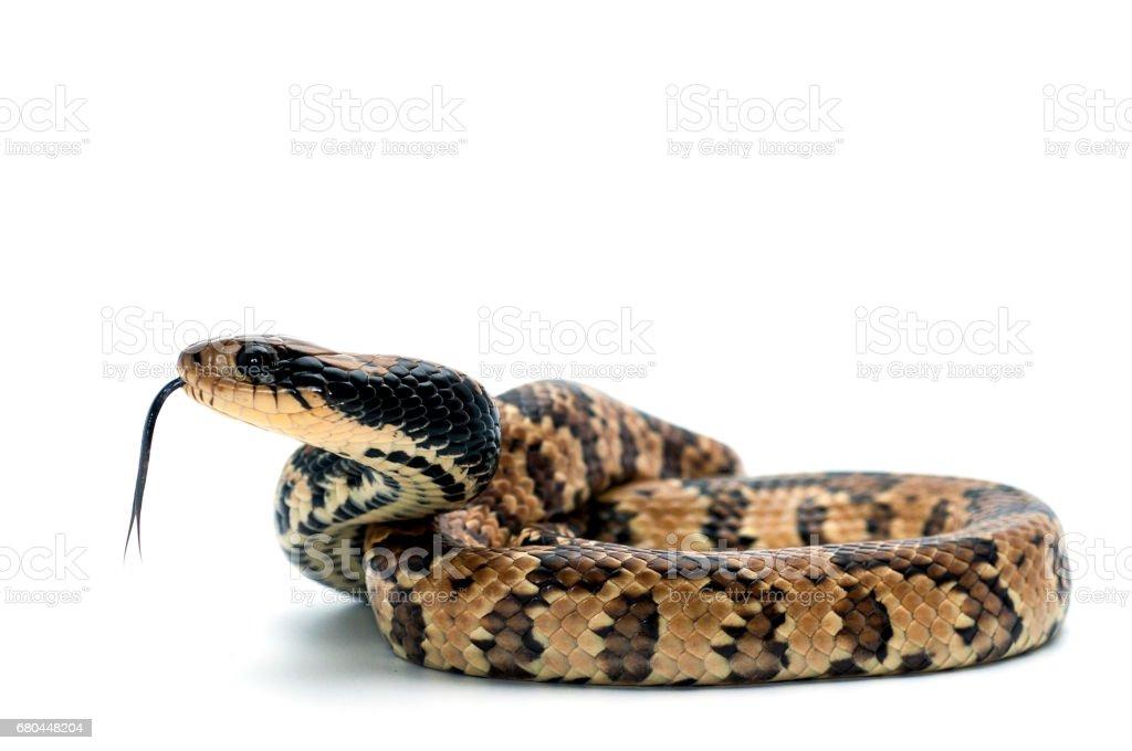 False Water Cobra isolated on white background stock photo