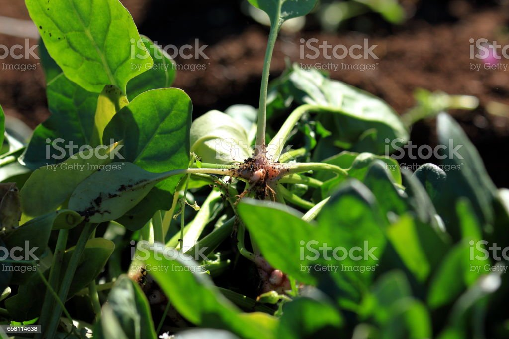 Famer in spinach field royalty-free stock photo