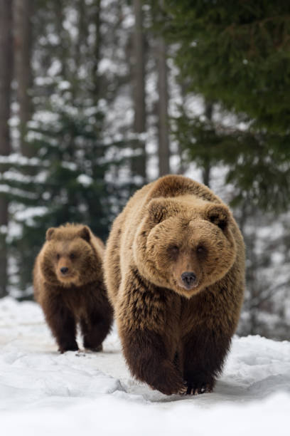 Family bear in the winter forest picture id921813768?b=1&k=6&m=921813768&s=612x612&w=0&h=q7wsuerkfzcft2egayrgsa7efedpqqa4ksfj4mdem7g=