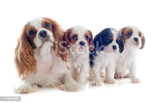 family cavalier king charles tricolor and blenheim in studio