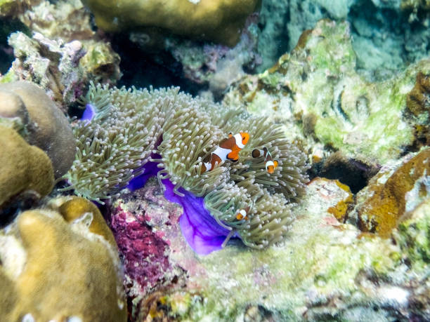 Family clownfish hiding in coral reef Family clownfish hiding in coral reef purple pot sulawesi stock pictures, royalty-free photos & images