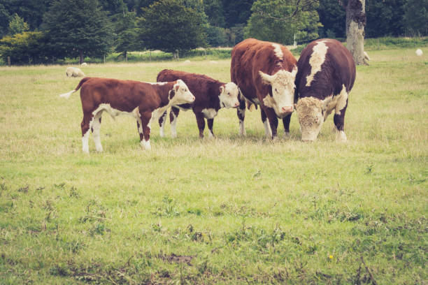 Image result for family of cows