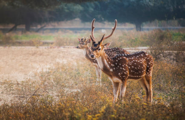 Family Day Out A Deer family basking in a safari park. axis deer stock pictures, royalty-free photos & images