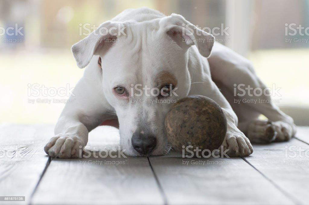 Family Dog Waiting stock photo