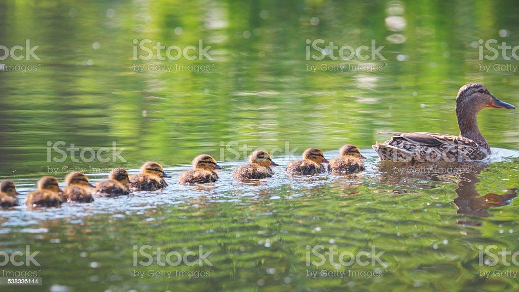 Famiglia di anatre - foto stock