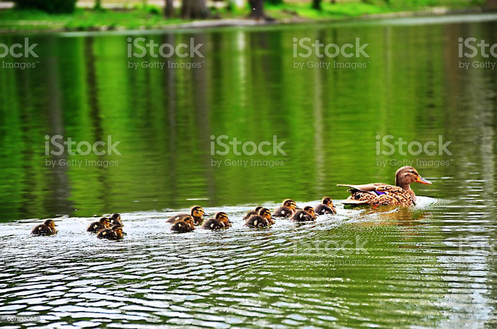 Family duck - foto stock