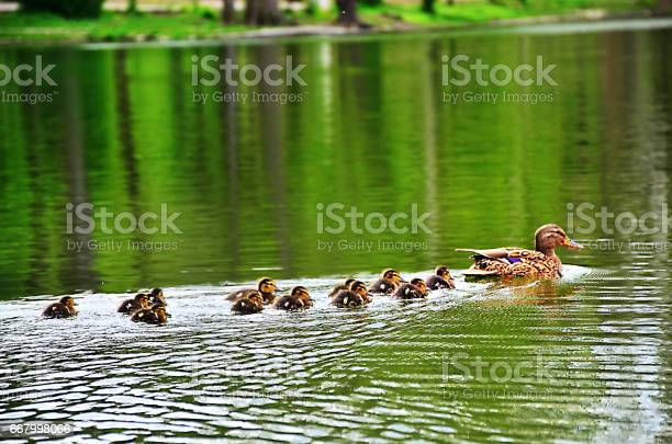 Photo of Family duck