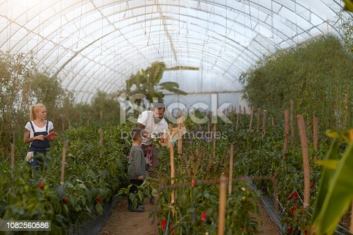 Family Farming in a Green House Together. Picking up peppers.