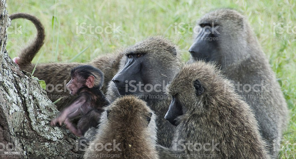 Family gathering of baboons royalty-free stock photo