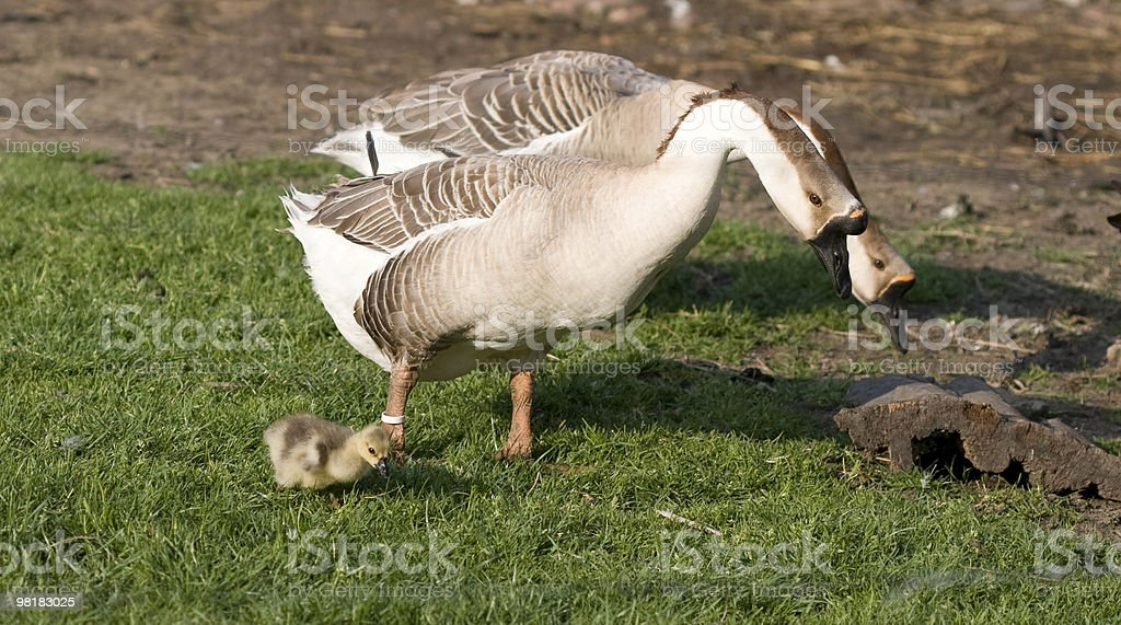 family goose royalty-free stock photo