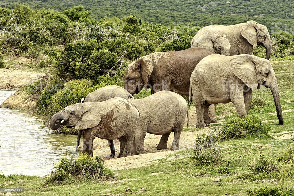 Family group of African Elephants royalty-free stock photo