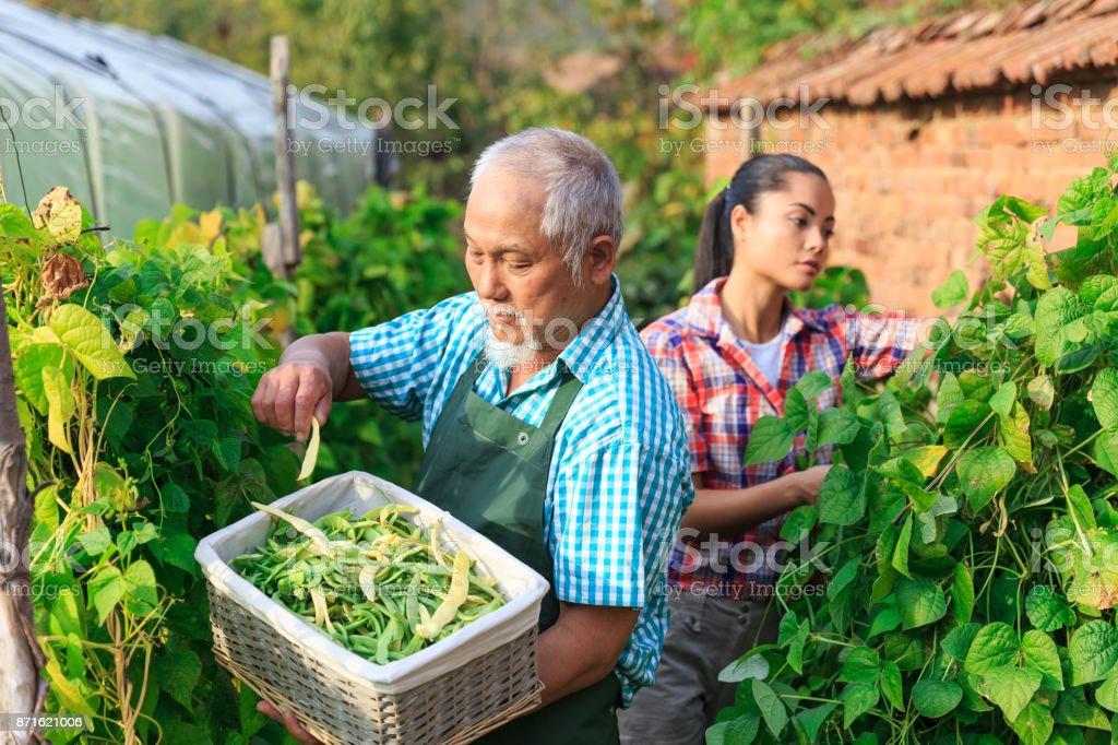 Family harvesting green beans stock photo