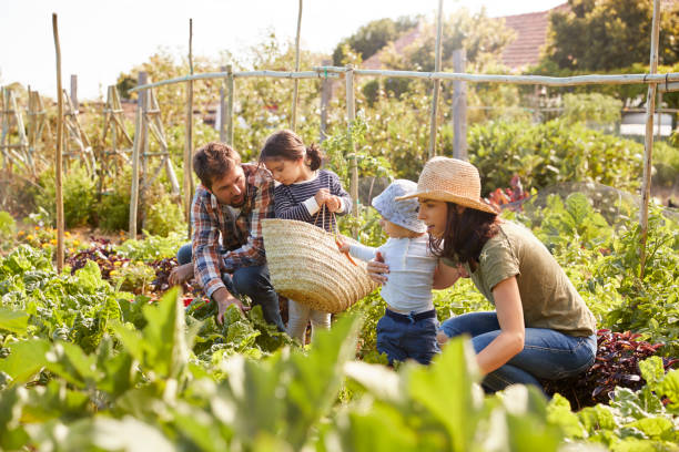 Family Harvesting Produce From Allotment Together Family Harvesting Produce From Allotment Together community garden stock pictures, royalty-free photos & images