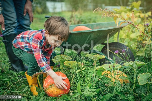 Cute child and his father gardening pumpkins for Halloween at back yard