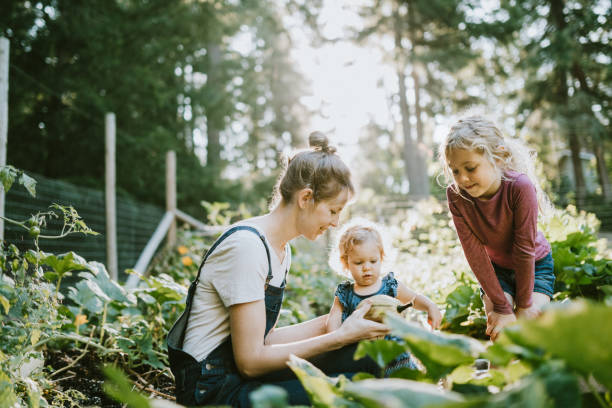 Family Harvesting Vegetables From Garden at Small Home Farm A mother and her children pick fresh squash from their garden on a warm late summer morning at their home.  Shot in Washington state. gardening stock pictures, royalty-free photos & images