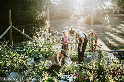 A mother and her children dig fresh potatoes from their garden on a warm late summer morning at their home.  Shot in Washington state.
