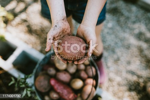 A girl holds up a freshly dug potato from her garden on a warm late summer morning at home.  Shot in Washington state.