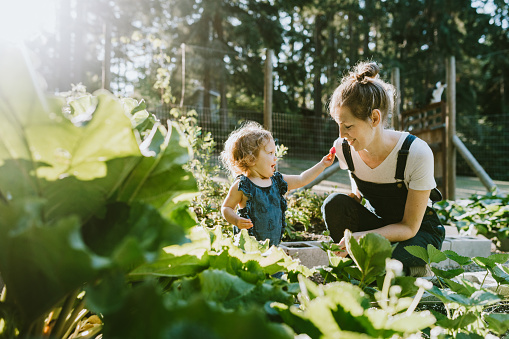 A mother and her baby daughter pick fresh strawberries from their garden on a warm late summer morning at their home.  Shot in Washington state.