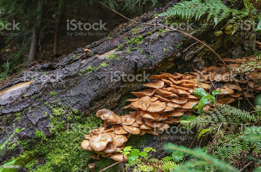 Family Honey fungus stock photo