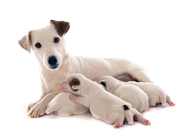 family jack russel terrier adult and puppies jack russel terrier in studio newborn animal stock pictures, royalty-free photos & images
