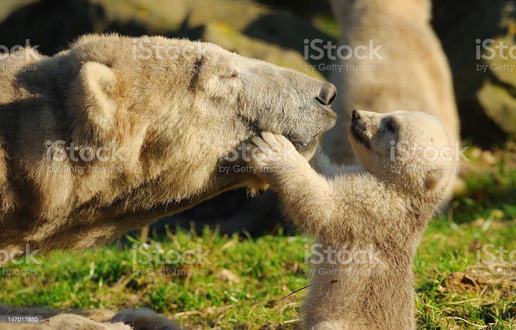 Family love between cute polar bear and little one stock photo