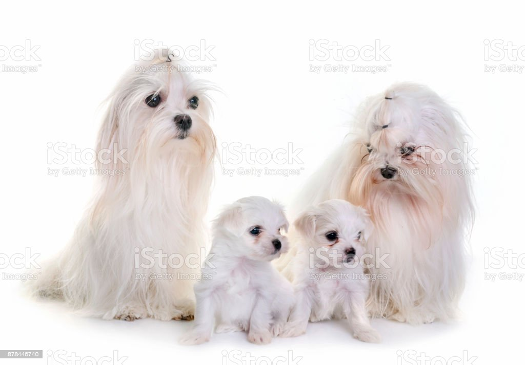 Family Maltese Dogs Stock Photo Download Image Now Istock