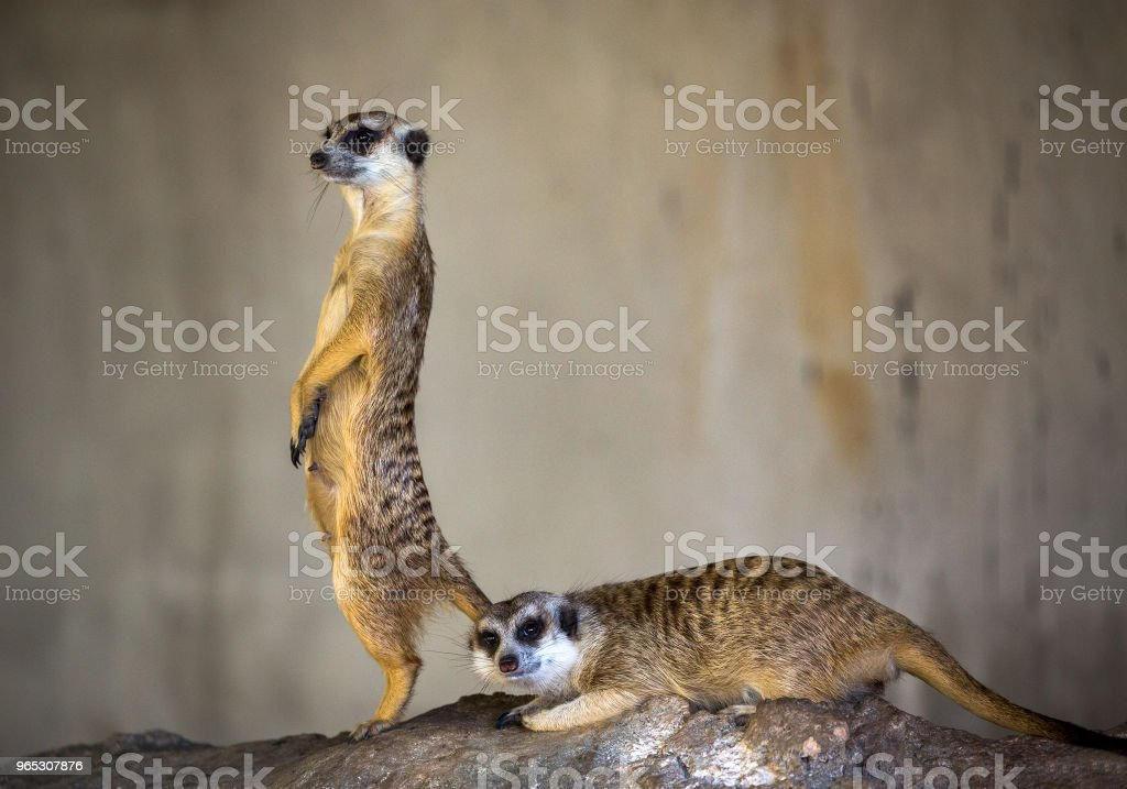Family MeerKat. royalty-free stock photo