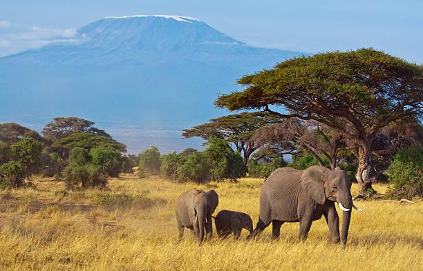 elefanten familie vor kilimandscharo - safari tiere stock-fotos und bilder