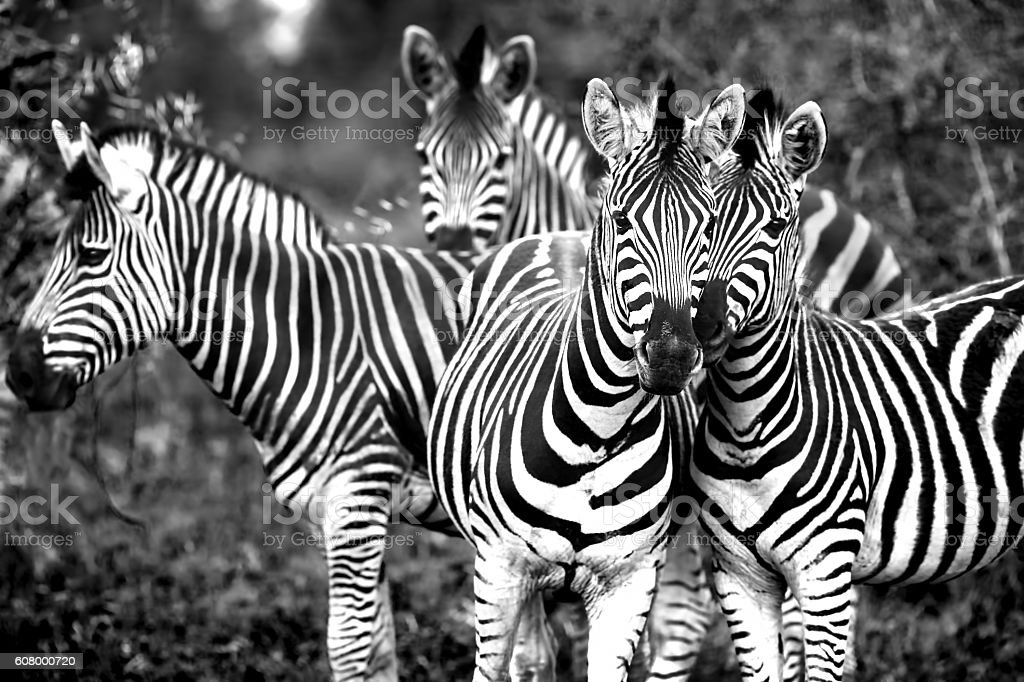 Family of a wild African zebras stock photo