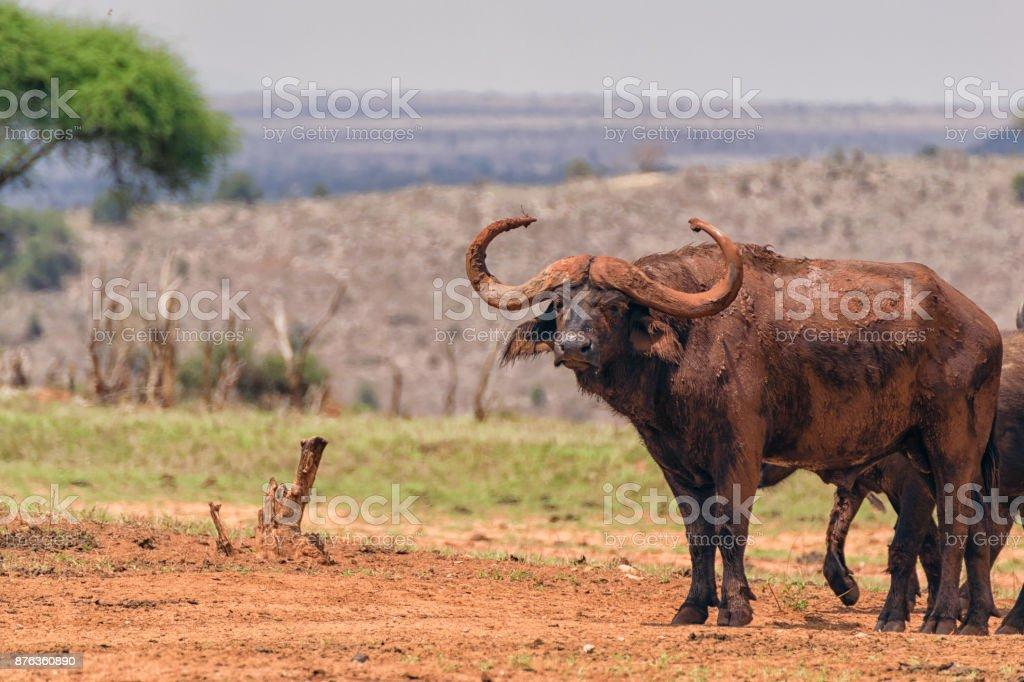 Family of African Buffalo stock photo