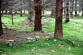 Morning overcast daylight image of a family of fly agaric on a forest floor in autumn.