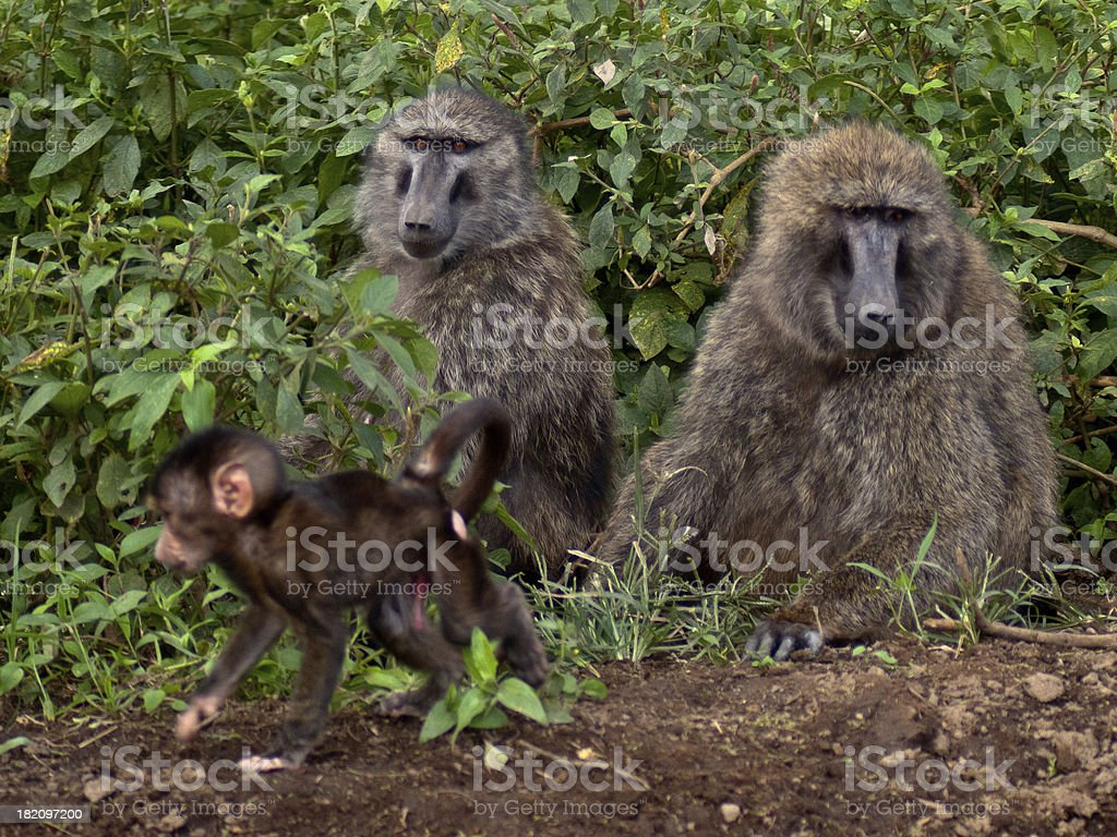 Family of baboons sitting on the ground royalty-free stock photo