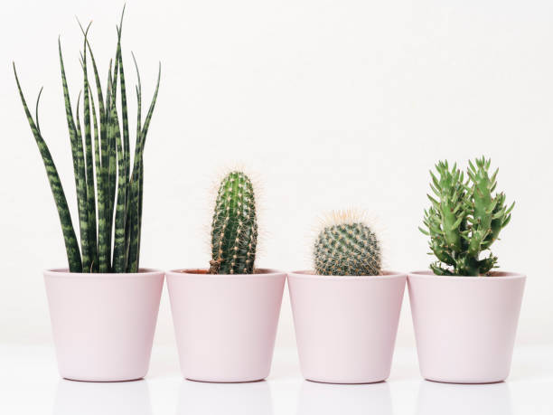 Family of cactus plants against white background stock photo