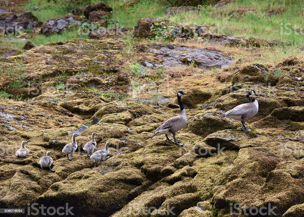 family of Canada geese on mossy rocks stock photo