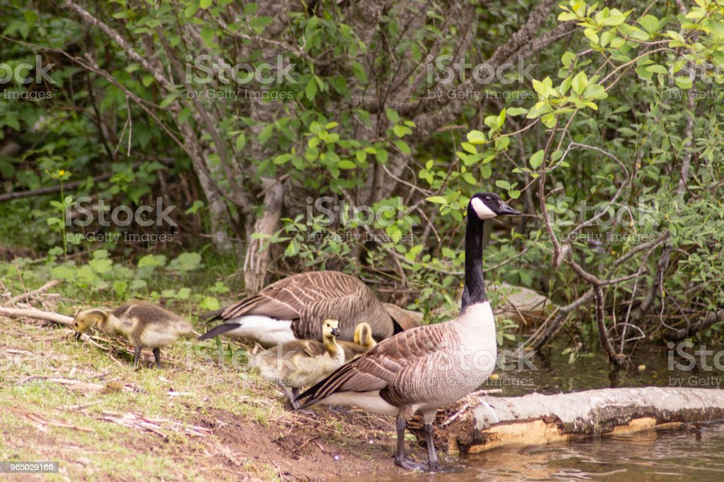 Family of Canada Geese with Baby Goslings royalty-free stock photo