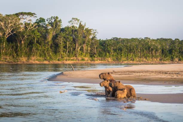 Manu Nationalpark Peru - 6. August 2017: Familie von Capybara an den Ufern des Amazonas-Regenwaldes in Manu Nationalpark in Peru – Foto