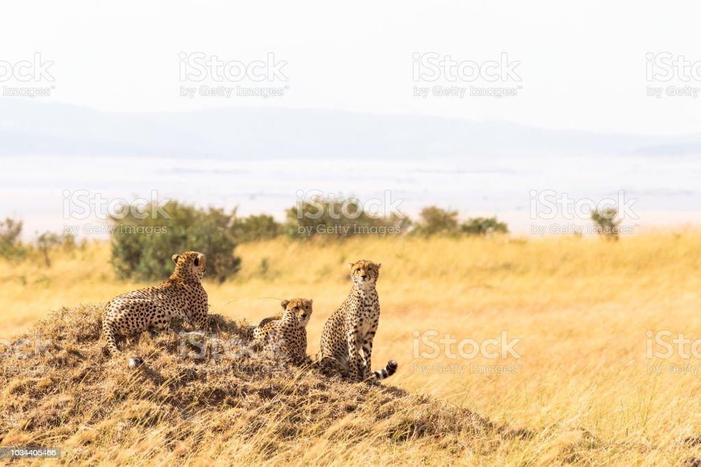 Family of cheetahs from Masai Mara. Kenya, Africa stock photo