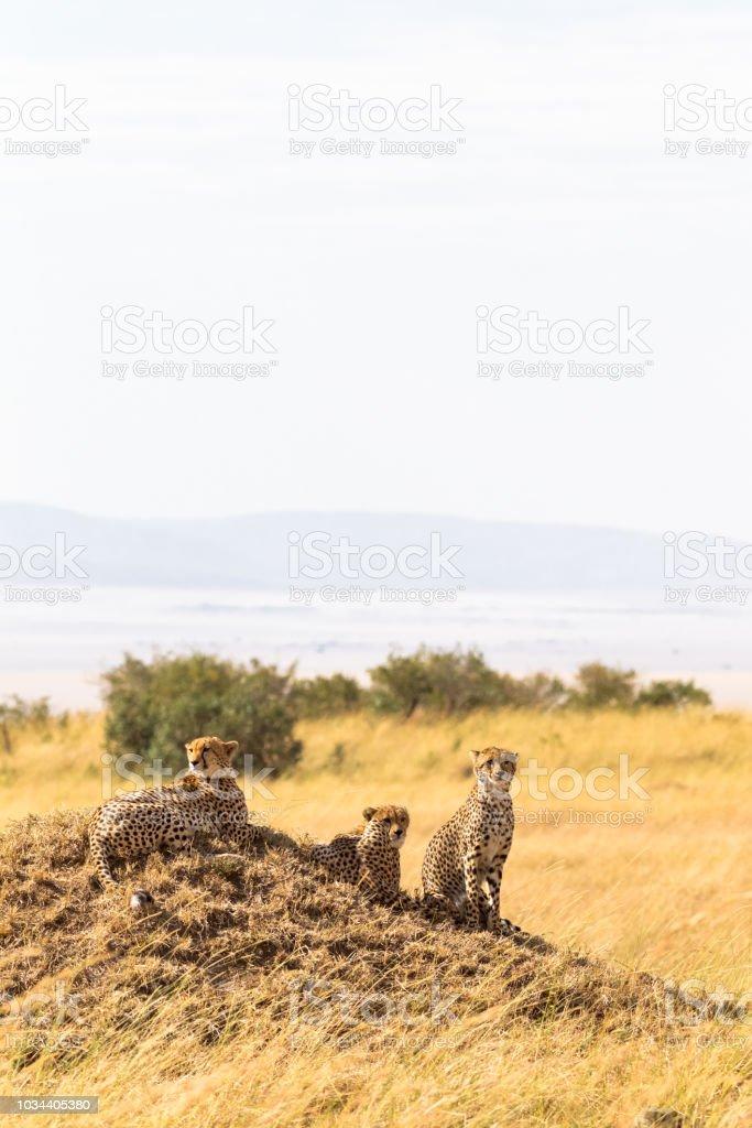 A family of cheetahs from Masai Mara on a hill. Kenya, Africa stock photo