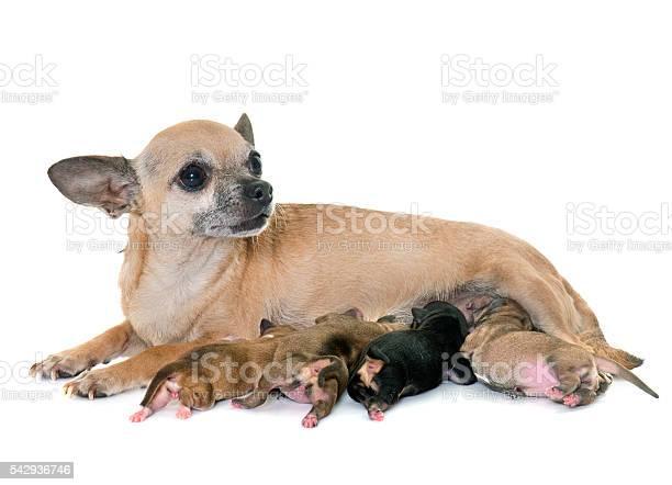 Family of chihuahua picture id542936746?b=1&k=6&m=542936746&s=612x612&h= szlu4dyqqmzbtxpfaoiom8eidmllrly72jk2zl0gnw=