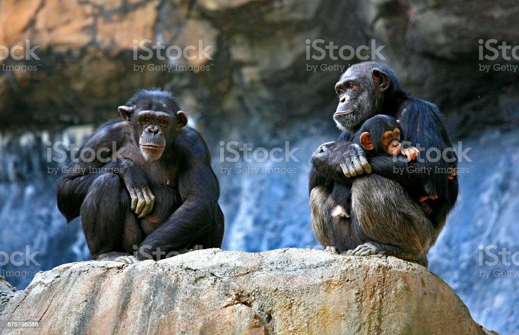 Family of chimpanzee, stock photo
