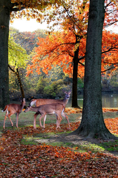 Family  of deers in the autumn woods. stock photo