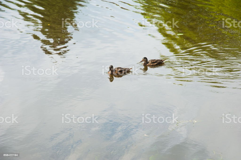 Family of ducks in the water stock photo